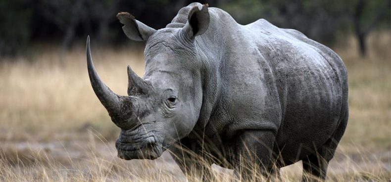 Could Horn Farming save wild Rhinos?