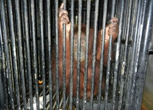 An orangutan sits in a tiny cage at the Melaka Zoo, south of Kuala Lumpur. Photo Credit: Daily Mail