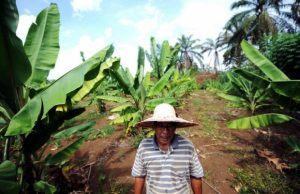 Surin Deris, a settler in Bukit Goh, stands among his newly planted banana trees. Photo Credit: Bernama