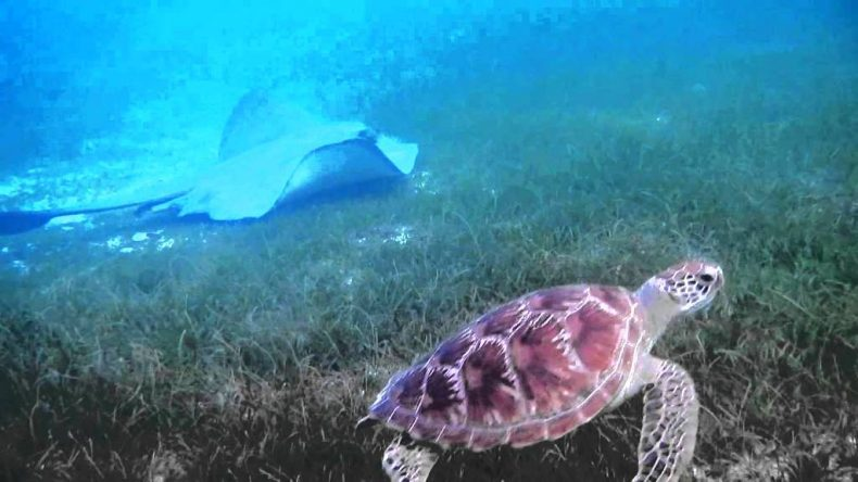 Demand for Stingrays is killing Turtles