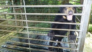A sun bear bites at the bars of its cage in distress at the Tawau Hot Spring Recreational Park before its rescue from the site. Photo Credit: BSBCC