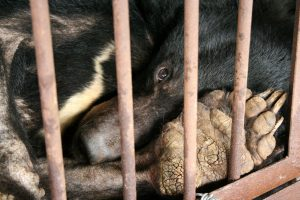 A moon bear languishes in a cramped cage at a bile farm. Photo Credit: Animals Asia