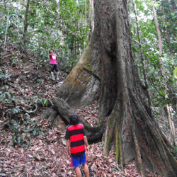 The world's tallest tropical tree, in Sabah, is quite a looker at ground level too. Photo Credit: Stephanie Law at Cambridge University