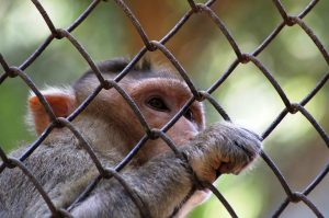 A rhesus macaque peers through the mesh netting of its cage. Photo Credit: Pixabay