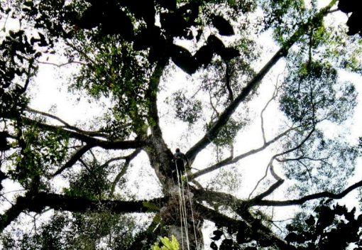 Drumroll please: The world's Tallest Tropical Tree is found in Sabah
