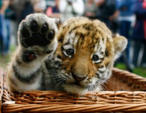 A tiger cub wants to be friends. Animal lovers prefer cubs alive. Some people, however, want them dead for their parts. Photo Credit: Animal Savior