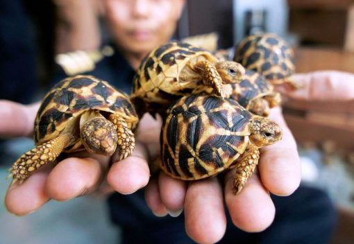 Indian Turtle Smugglers are nabbed in Malaysia