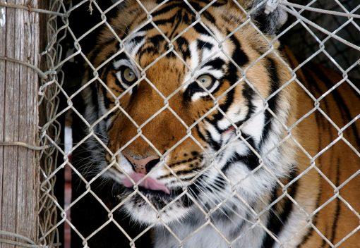 WWF tells Nations: 'Close Tiger Farms!'