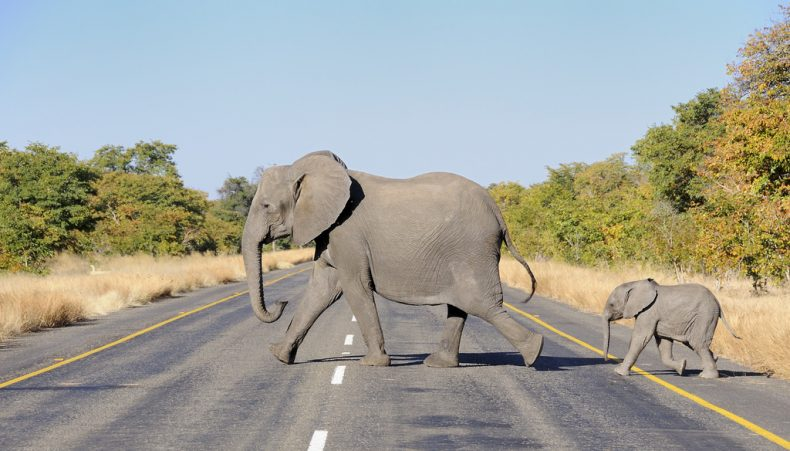 Why do Elephants cross the Road?