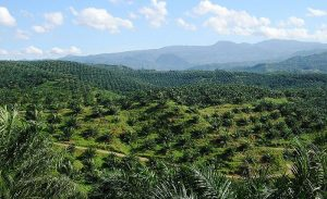 "A palm oil plantation in Indonesia. Photo Credit"" Wikimedia Commons"