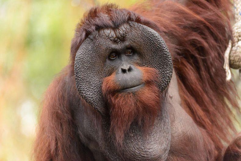 Bornean Orangutans are 'Critically Endangered'