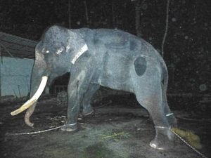 Lasah spends his night chained up in miserable conditions at Langkawi Elephant Adventures. Photo Credit: FOTO