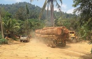 Loggers haul away newly felled trees in a protected forest reserve in Kedah. Photo Credit: Gary Chen/The Star