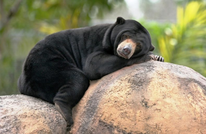 Save the Sun Bears