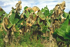 Black Sigatoka can wreak havoc on cultivated banana plants within a matter of days. Photo Credit: APS