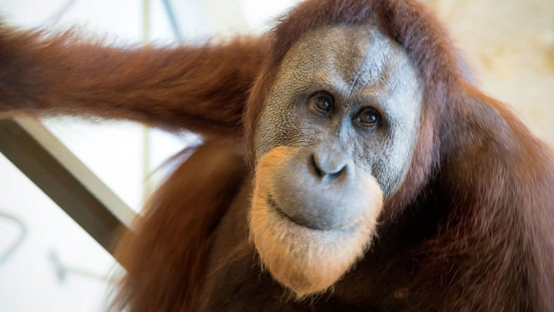 Thus Spoke Rocky the Orangutan
