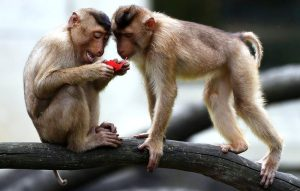 Two long-tailed macaques examine a pink bit of voter registry they have stolen from a polling station in northern Thailand. Photo Credit: The Bangkok Post