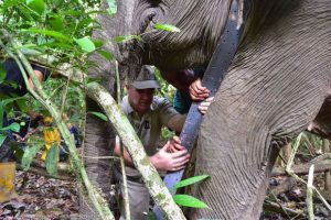 A researcher places a satellite-equipped tracking collar on a female wild elephant at the Lower Kinabatangan Wildlife Sanctuary. Photo Credit: Danau Girang Field Centre