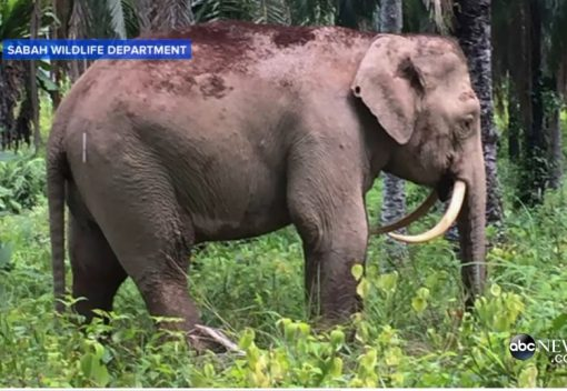 Saber-toothed Elephant found in Sabah
