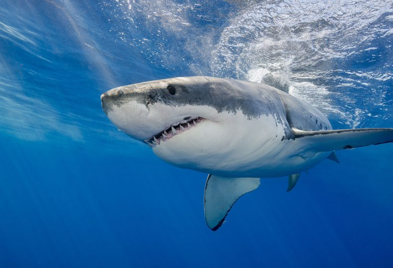Sharks need better Protection in Sabah