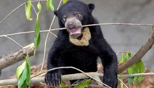 A sun bear cub chews on a twig for a bit of fun. Photo Credit: San Diego Zoo