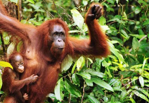 Sarawak sets out to Protect its Forests and Orangutans Better at Last
