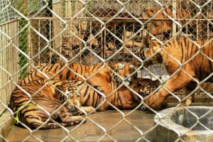Tigers languish in dingy and crowded enclosers at a tiger farm in China. Photo Credit: One Green Planet