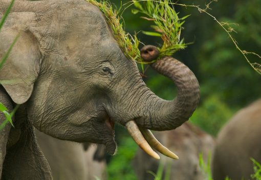 Elephants are the 'Gardeners of Forests'