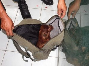 A baby orangutan is discovered in a backpack by officials. Photo Credit: GRASP
