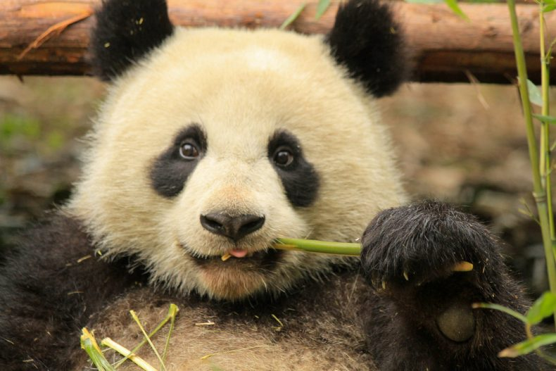 Pandas are no longer 'Endangered.' Good! But Many other Animals still Are