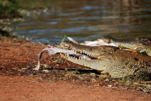 A young croc feeds on a fish in a swamp. Photo Credit: Wikimedia Commons