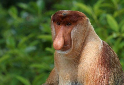 A Proboscis Monkey is saved in Sibu