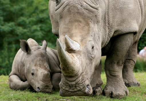 Rhinos are on the Brink