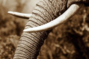Thousands of elephants are killed for nothing more than their tusks. Photo Credit: Inhabitat