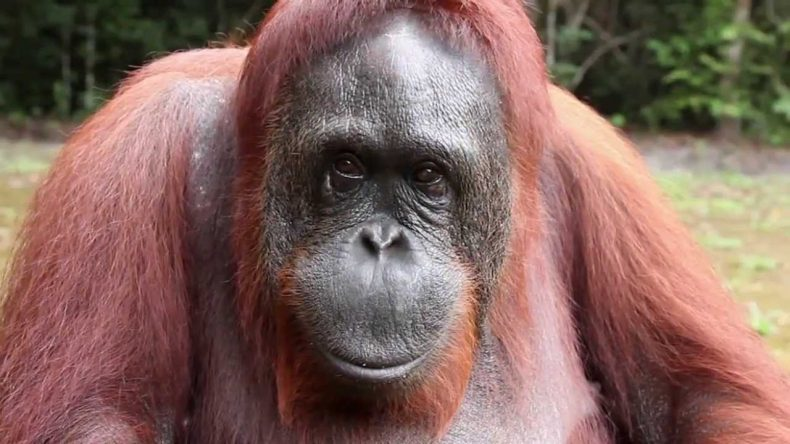 New Database reveals Alarming degree of Illegal trade in Orangutans