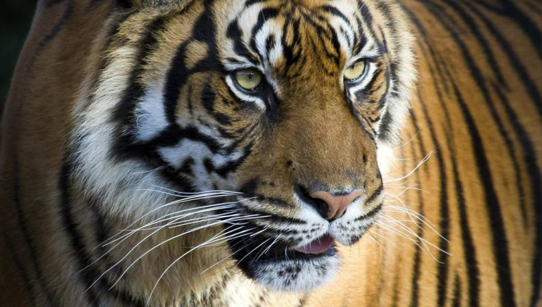 MYCAT: Make Poachers and Smugglers pay dearly for Harming wild Tigers