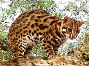 Leopard cats, especially young ones, are popular as pets on the exotic wildlife market. Photo Credit: tigertribe.net