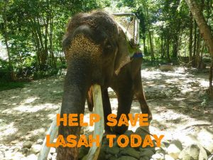 A campaign by Friends of the Orangutans has brought widespread attention to the plight of Lasah. Photo Credit: FOTO