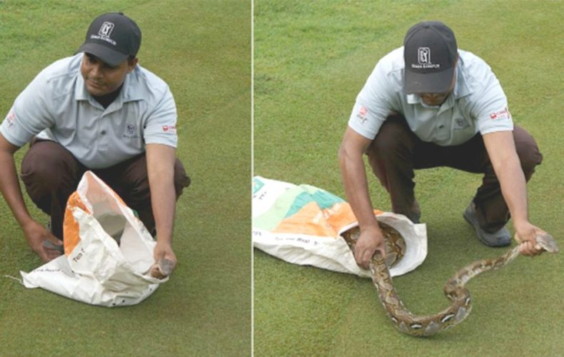Teeing-off Python: A curious Snake drops by a Golf Tournament in KL