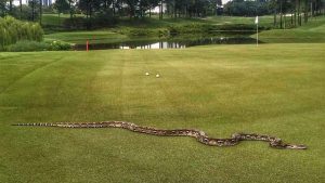 A six-foot snake take a look-see near the 5th hole at the Klang Valley Resort. Photo Credit: PGA Tour via Twitter