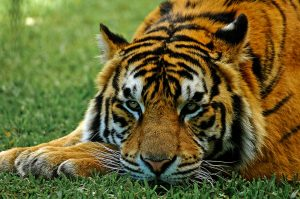 Despite their fearsome reputation, tigers are powerless against poachers. Photo Credit: Pixabay