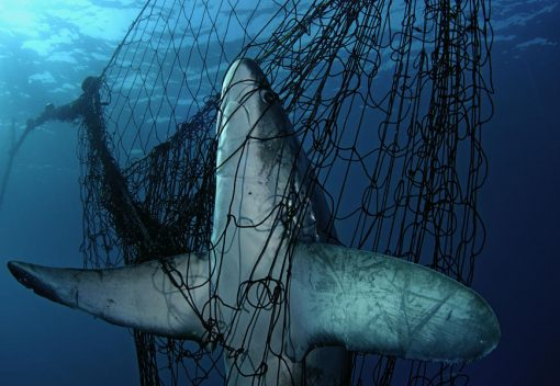 Perak wants Citizens to Save its Sharks