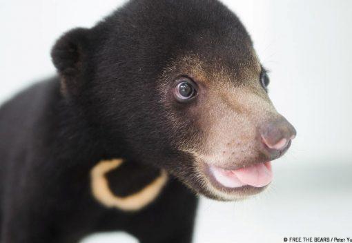 Sun Bears remain at Risk in Malaysia