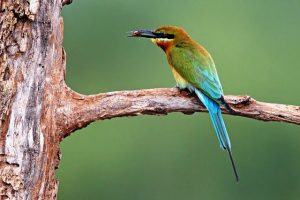 A blue-tailed bee-eater perches on a tree in a Penang forest. Photo Credit: Malaysian Wildlife Photography