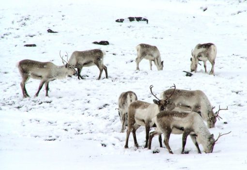 Russia's Reindeer Apocalypse may be a Foretaste of things to Come