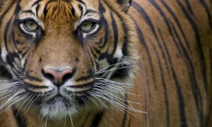 A captive Sumatran tiger (Panthera tigris sumatrae) stares at the camera. Photo Credit: WWF