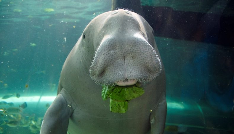 Let us Save Malaysia's last Dugongs