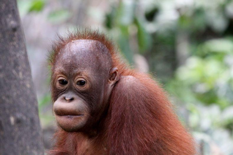 Baby Orangutans are Seized in Thailand