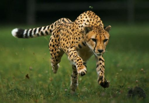 Cheetahs, like Tigers, are going Extinct