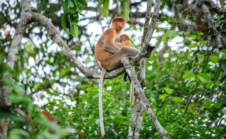 Conservationist Decries planned 'Bridge to Extinction' in Sabah
